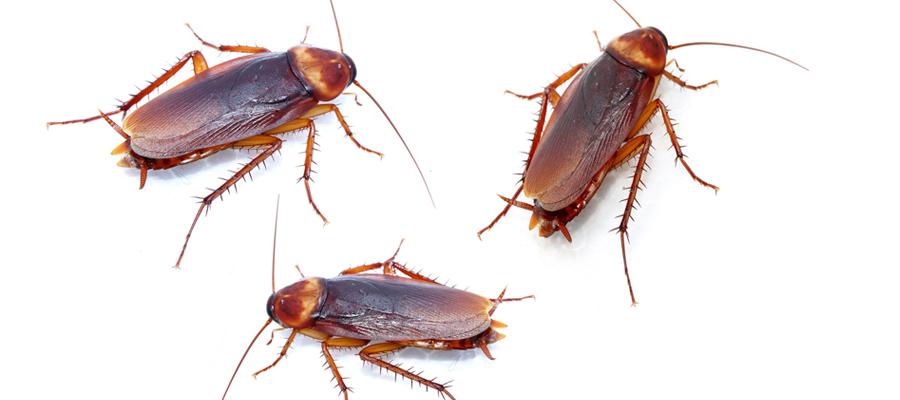 Control y eliminaci n de plagas de cucarachas for Control de plagas badajoz