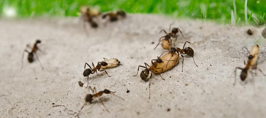 Llamar el control de Hormigas
